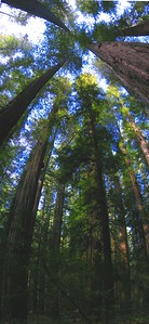 Redwoods National Forest, Northern California. At the end of the Lost Coast Highway drive, you go through a few miles of Redwoods National Forest.