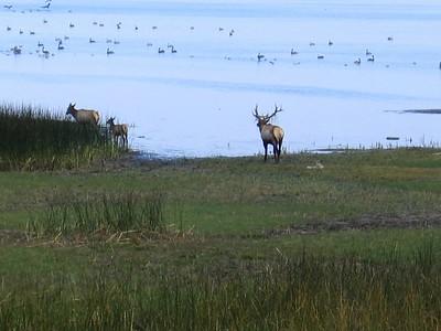 Caribou on Del Norte Coast, Northern California